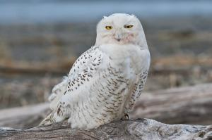 Snowy Owl Irruption
