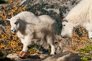 Larch Trees and Mountain Goats in the Fall